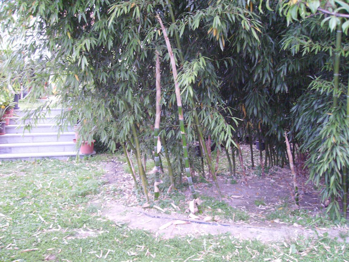 bambus rhizomsperre exotenbilder am. Black Bedroom Furniture Sets. Home Design Ideas