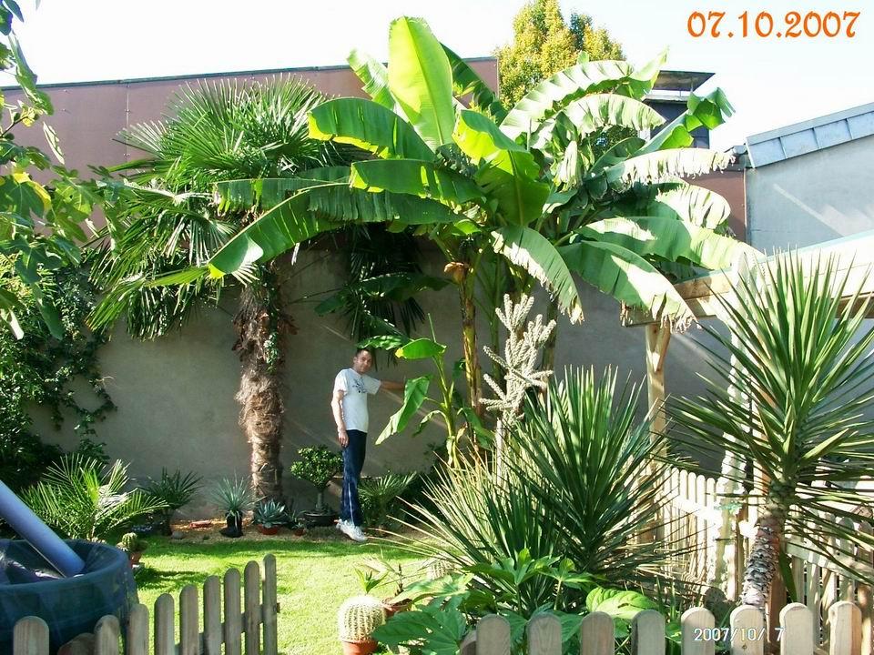 bananenbaum im garten foto bananenbaum im garten eines tulous geo reisecommunity bananenbaum. Black Bedroom Furniture Sets. Home Design Ideas